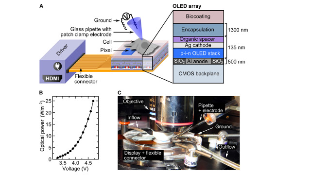 University of St Andrews - Illustration of optogenetic cell stimulation with OLED microarrays